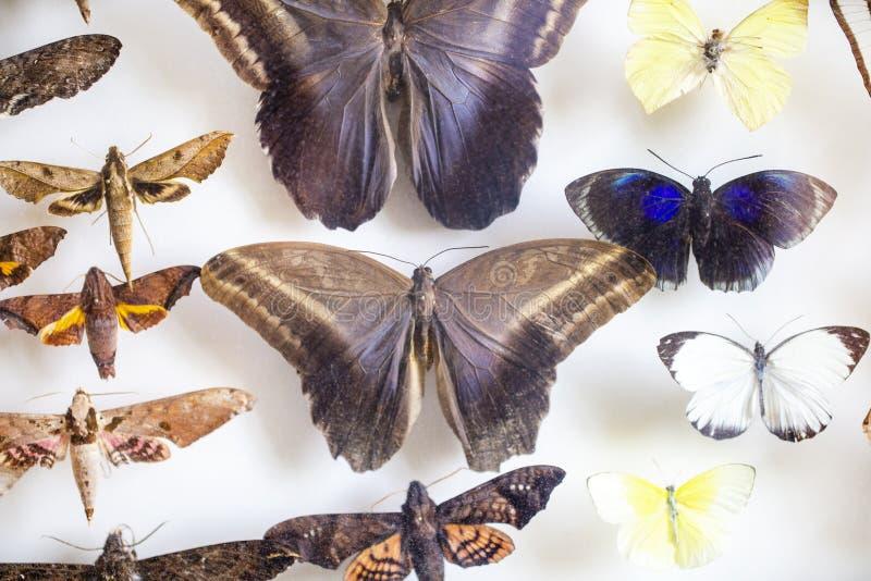 Entomología colección de mariposas tropicales para estudiar entomología científica imagenes de archivo