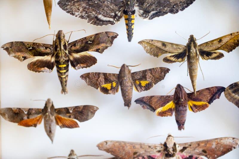 Entomología colección de mariposas tropicales para estudiar entomología científica imagen de archivo
