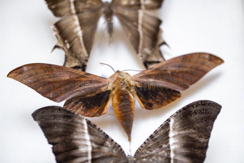 Entomología colección de mariposas tropicales para estudiar entomología científica imagen de archivo libre de regalías