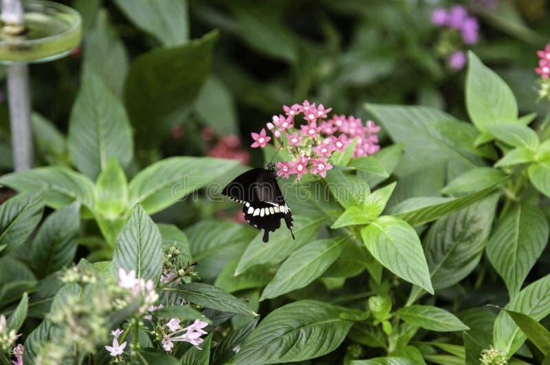 Entomologie des papillons photo libre de droits
