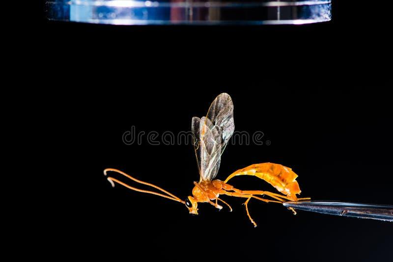 Entomologisk utrustning med getingen royaltyfri fotografi
