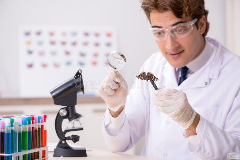 Entomologo dello scienziato che studia le nuove specie della farfalla immagini stock libere da diritti