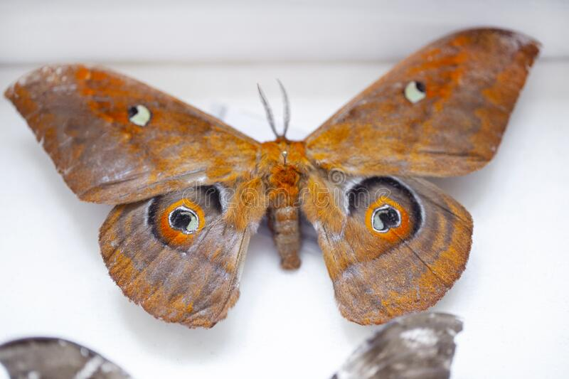 Entomology. collection of tropical butterflies to study science entomology. Entomology. collection of tropical butterflies to study royalty free stock photo