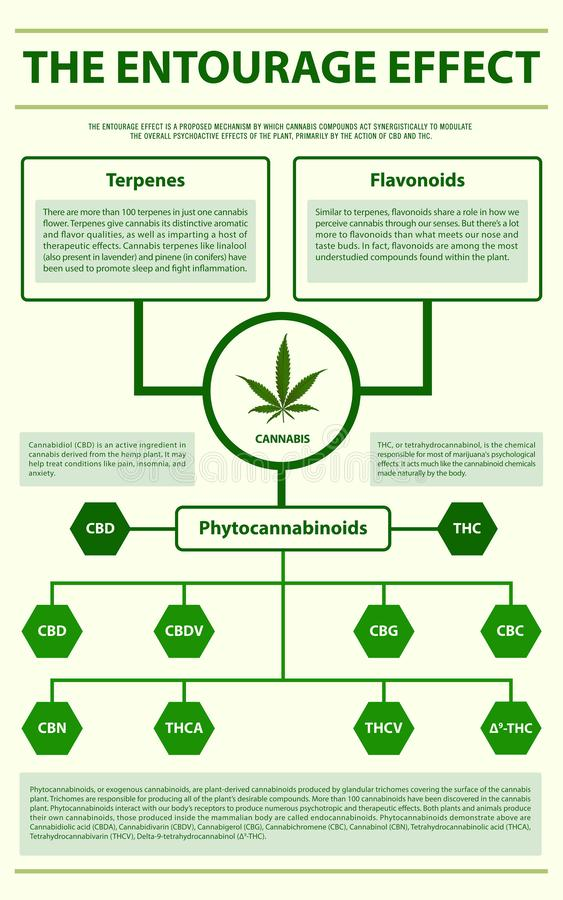 The Entourage Effect vertical infographic. Illustration about cannabis as herbal alternative medicine and chemical therapy, healthcare and medical science vector illustration