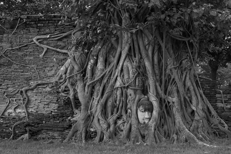 Entourage principal de Bouddha avec des racines d'arbre image libre de droits