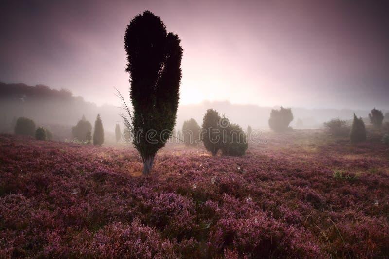 Enträd och ljung på dimmig soluppgång arkivbilder
