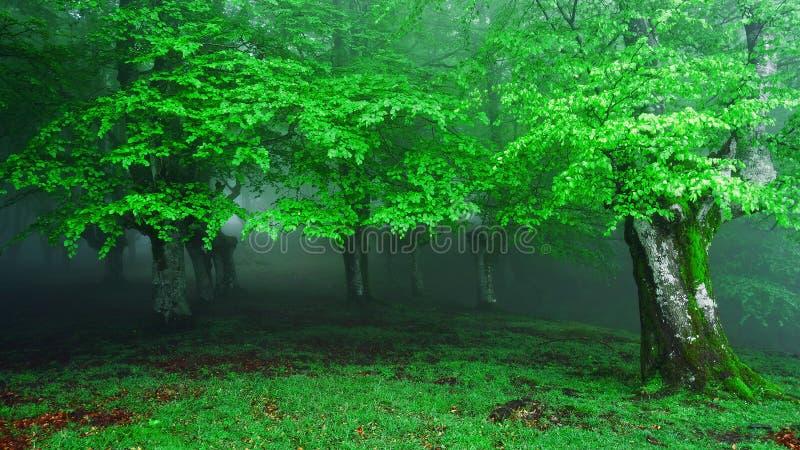 Entrée brumeuse de forêt photos stock