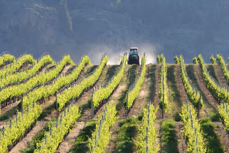 Entraîneur de vigne, Okanagan, BC. photographie stock libre de droits
