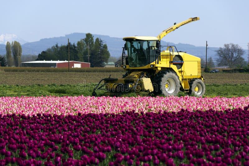 Entraîneur et tulipes image libre de droits