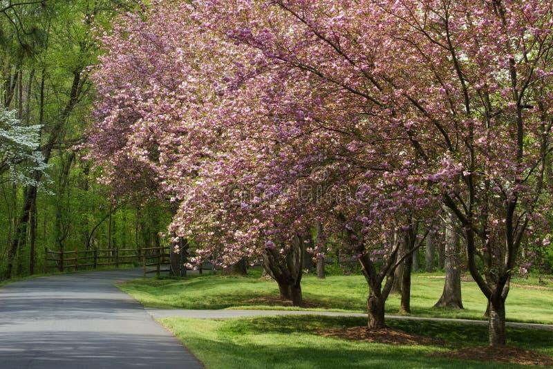 Entrada de automóveis da mola com Cherry Trees fotografia de stock royalty free