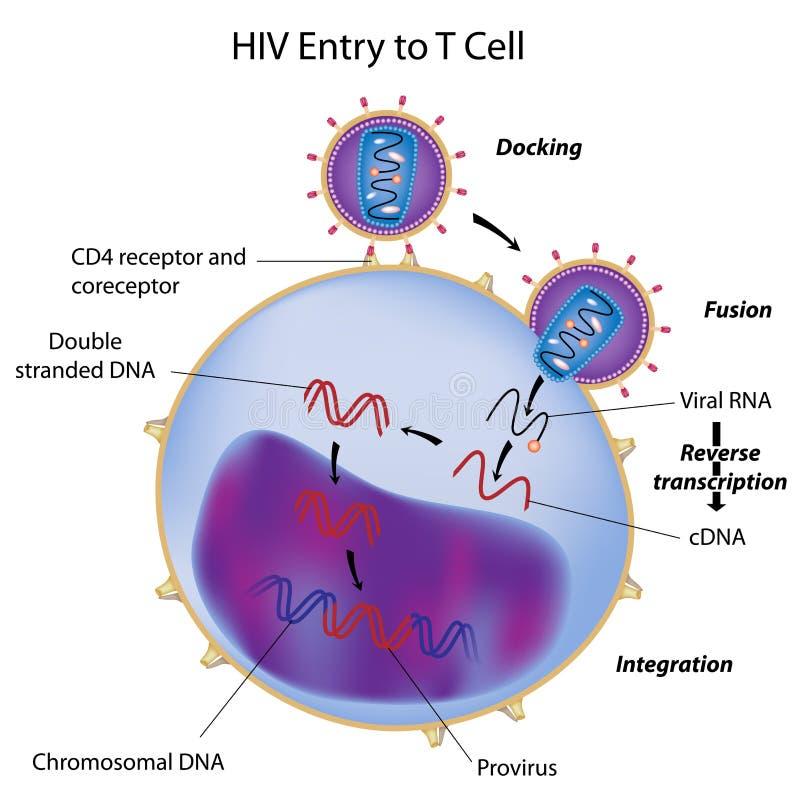 Entrada do HIV ao T cell ilustração stock