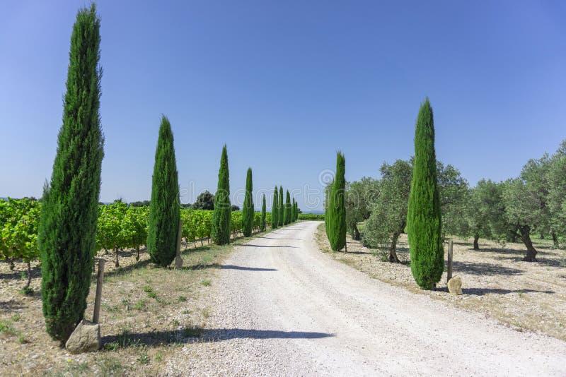 Entrada rural da estrada ao vinhedo e à terra orgânica das árvores do azeite, pinheiros sempre-verdes em ambos lado sob o céu azu foto de stock royalty free