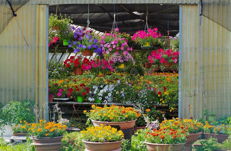 Entrance of a greenhouse completely full of multicolored flowers in external pots, on the internal tables and hanging on the walls stock photography