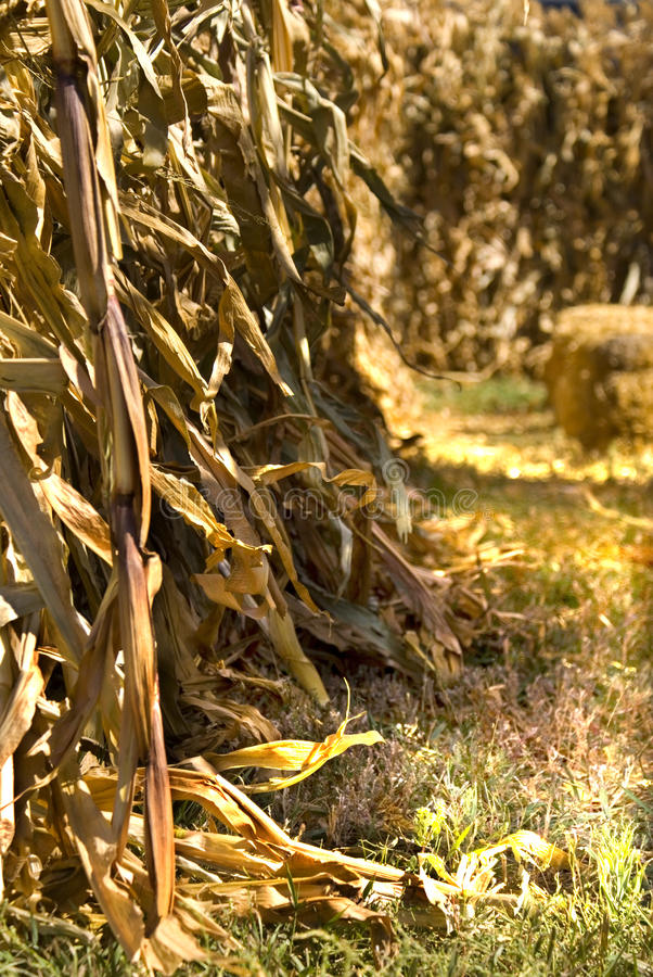 Download Entrance to Corn Maze stock image. Image of field, fall - 11209295