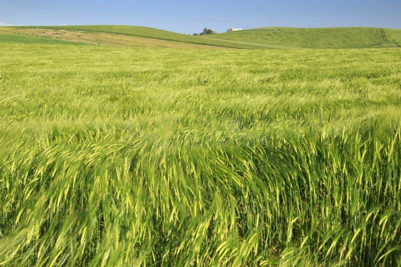 Entre Pouilles et Basilicate : paysage accidenté avec les champs de maïs verts l'Italie images libres de droits