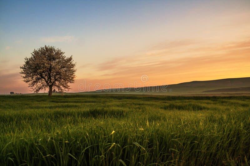 Entre Pouilles et Basilicate Ressort accidenté : lever de soleil avec l'arbre isolé en fleur l'Italie image libre de droits