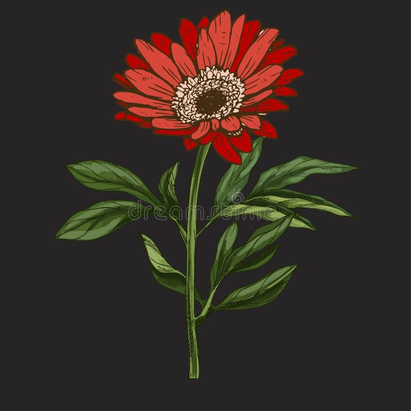 Entregue a flor vermelha tirada da margarida com haste e as folhas isoladas no fundo preto Ilustração botânica ilustração royalty free