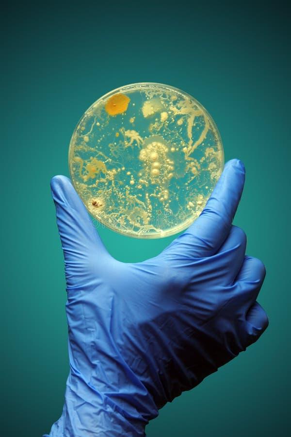 Entregue guardar as bactérias que crescem em um prato de petri fotos de stock