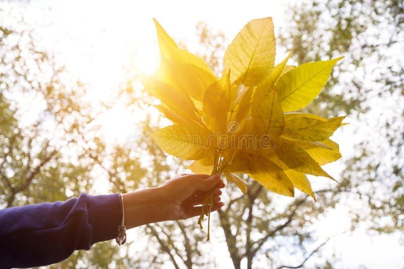 Entregue guardar as folhas amarelas no fundo ensolarado do amarelo do outono fotografia de stock royalty free
