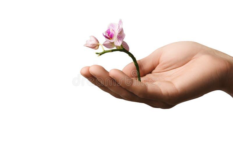 Entregue guardar a flor nova pequena, orquídea nova isolada no branco foto de stock royalty free