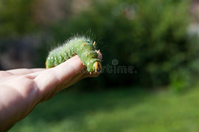 Entregue guardar a lagarta verde traça que imperial a lagarta se senta sobre imagem de stock royalty free