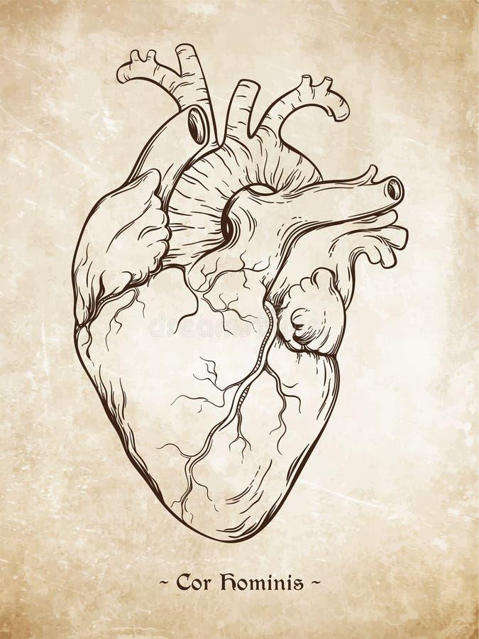 Entregue a linha tirada coração humano anatomicamente correto da arte Da Vinci esboça o estilo sobre o fundo de papel envelhecido ilustração royalty free