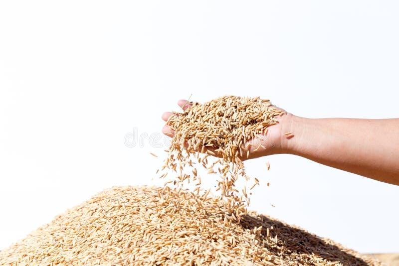 Entregue o arroz 'paddy' da posse no fundo branco imagens de stock royalty free