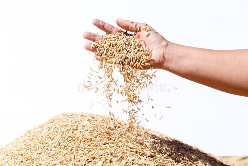 Entregue o arroz 'paddy' da posse no fundo branco imagem de stock royalty free