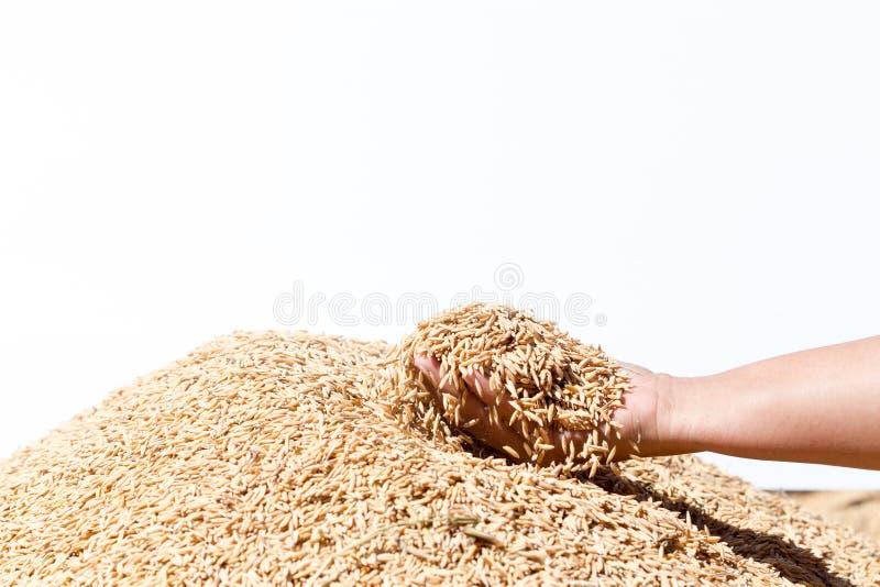 Entregue o arroz 'paddy' da posse no fundo branco fotografia de stock