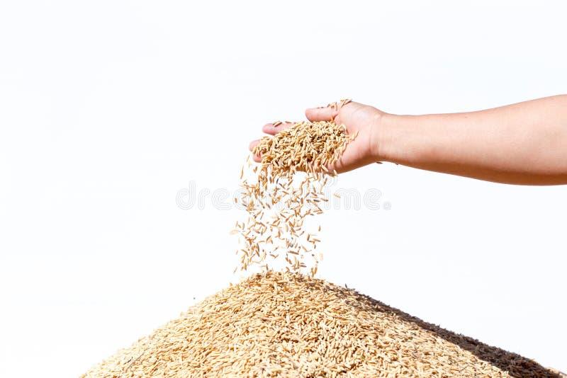 Entregue o arroz 'paddy' da posse no fundo branco fotografia de stock royalty free