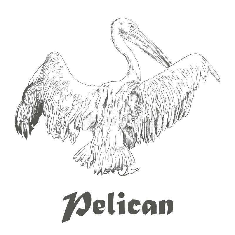 Entregue o esboço tirado do pelicano com asas espalhadas Vetor ilustração royalty free