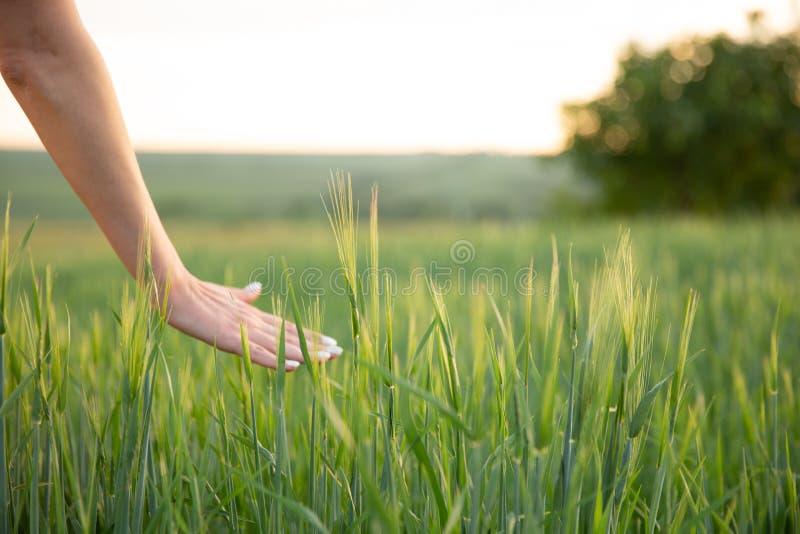 Entregue pontos tocantes do trigo com sua mão no por do sol na grama imagem de stock