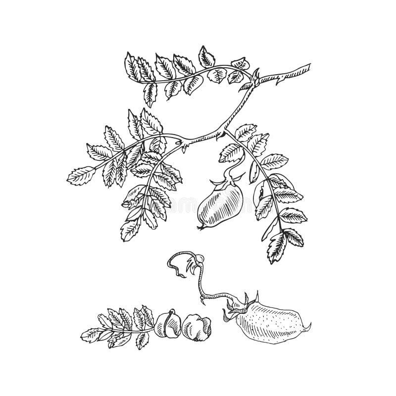Entregue a soja tirada do esboço, grão-de-bico, feijão, planta de lentilha Ilustração do vetor ilustração stock