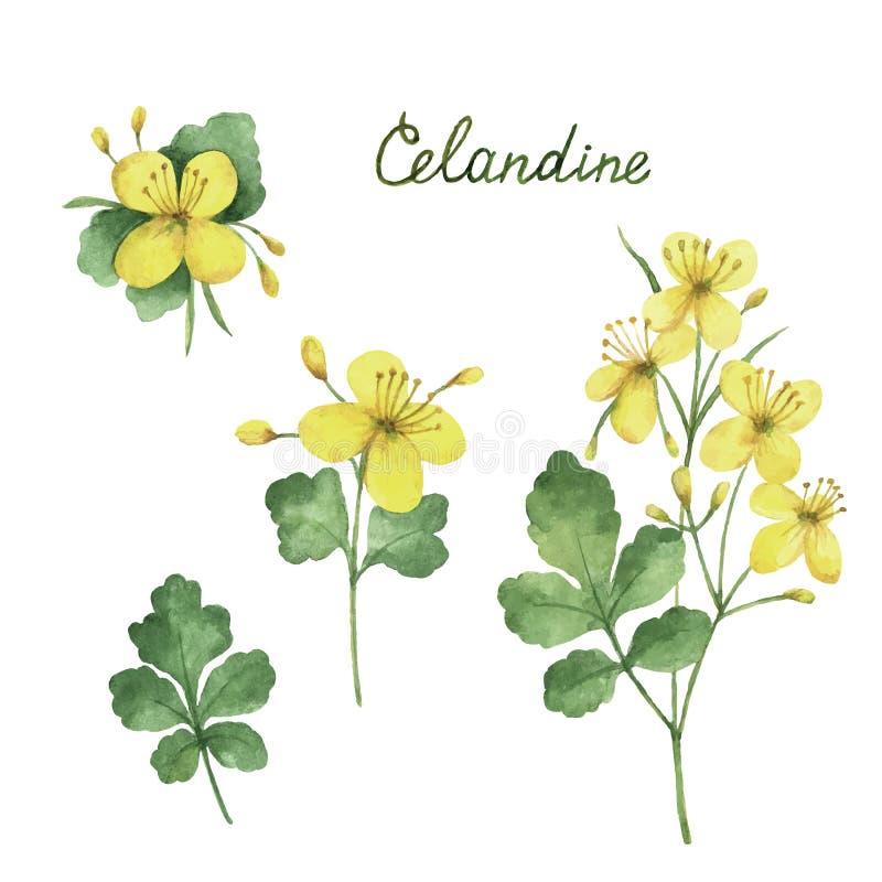 Entregue a vetor tirado da aquarela a ilustração botânica do celandine ilustração royalty free