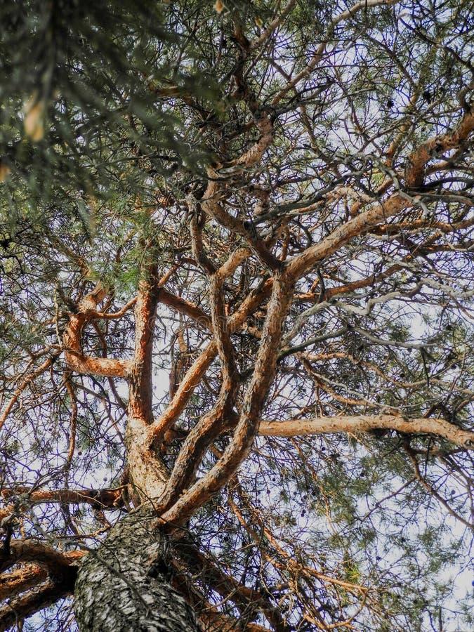 Entrelacement de fantaisie de vieilles branches de pin hautes en haut photos stock