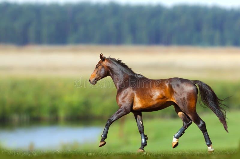 Entrenamiento del caballo de bahía en verano fotos de archivo libres de regalías