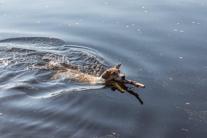 Entrenamiento del perro en agua foto de archivo
