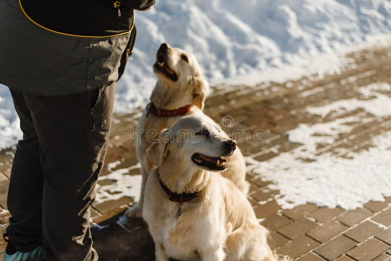 Entrenamiento hermoso de dos Labrador imagen de archivo libre de regalías