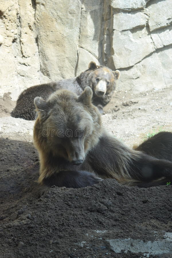Entspannende Grizzlybären lizenzfreie stockfotografie