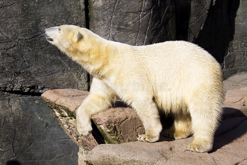 Entspannender Eisbär stockbild