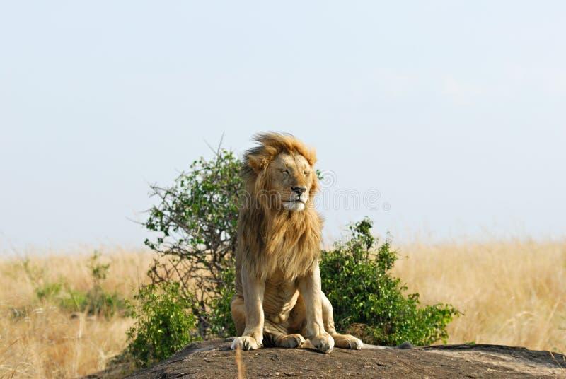 Entspannender Löwe mit der flüssigen Mähne lizenzfreies stockbild