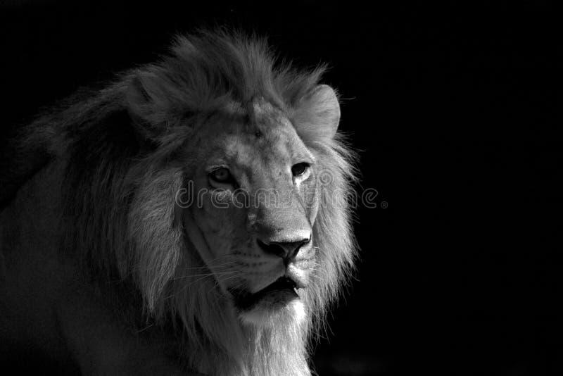 Entspannender Schwarzweiss-Löwe stockfoto