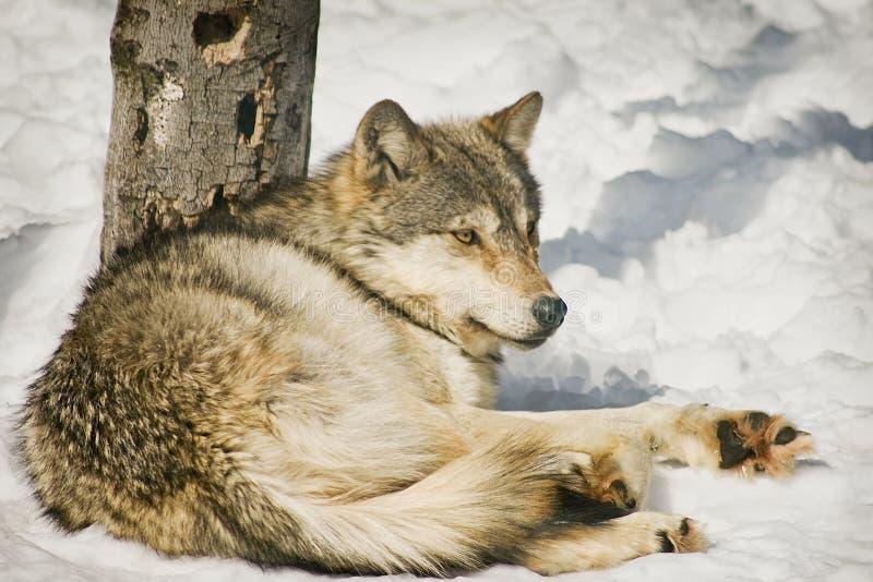 Entspannender Wolf lizenzfreie stockfotografie