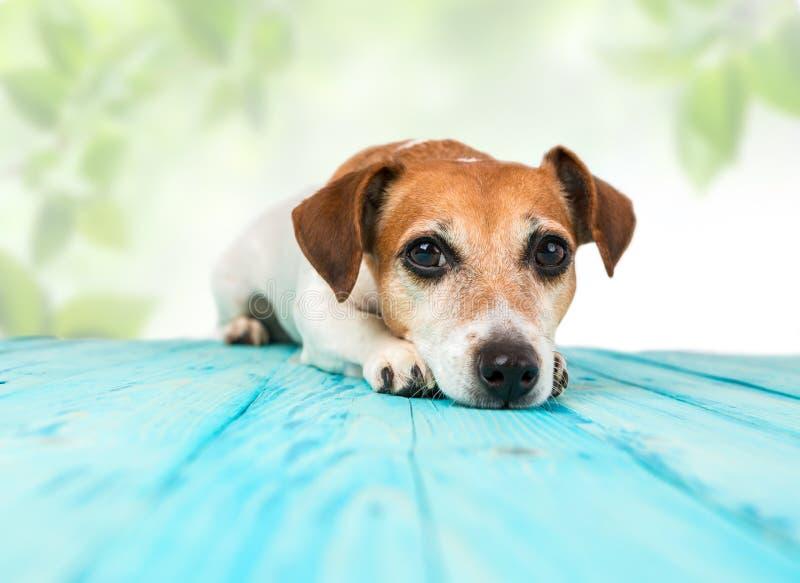 Entspannter ruhiger Hund, der auf dem Boden liegt stockbild