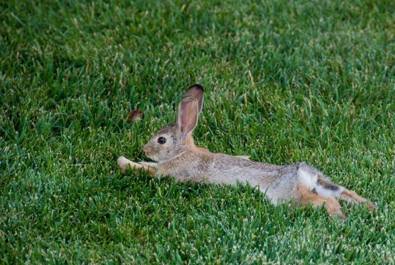 Entspanntes Kaninchen stockbild