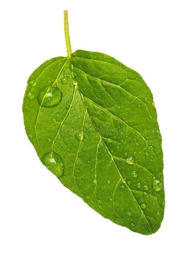 Entsprechendes grünes und frisches Blatt des Oreganogewürzs Mit Mikrowassertropfen stockfotografie