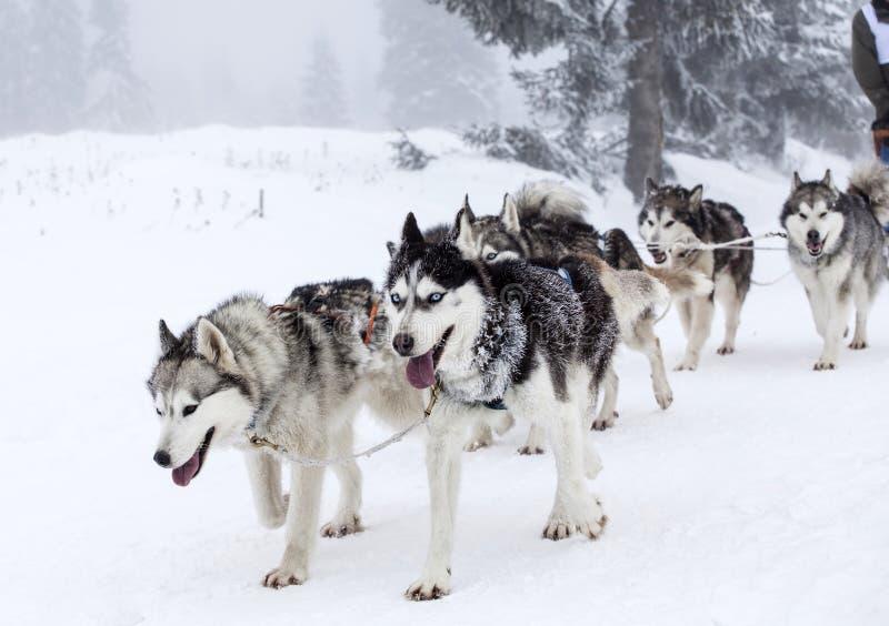 Entusiastiskt lag av hundkapplöpning i en sledding race för förfölja royaltyfria foton