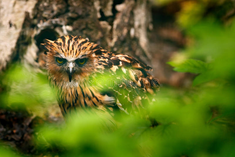 Entuzjastyczna sowa, Ketupa ketupu, rzadki ptak od Azja Malezja piękna sowa w natura lasu siedlisku Ptak od Malezja Ryba fotografia stock