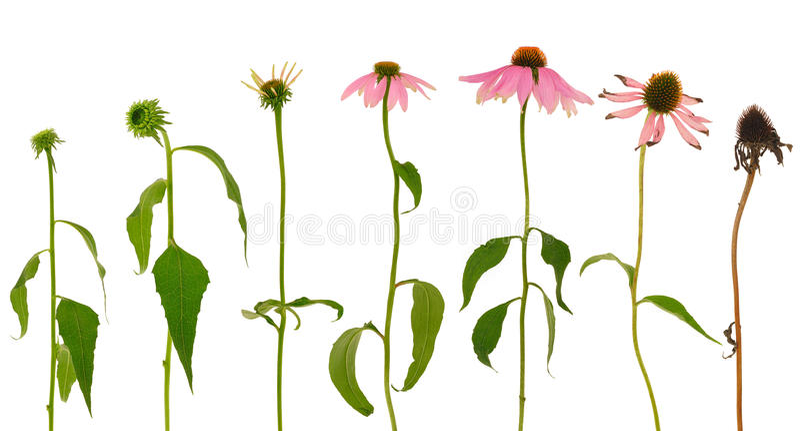 Entwicklung der Echinacea purpurea Blume getrennt stock abbildung