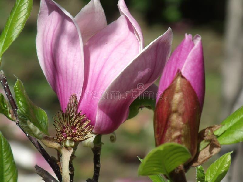 Entwicklungs-Magnolien-Blume lizenzfreies stockfoto